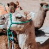 beach-camels-morocco-africa