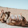 camels-morocco-beach